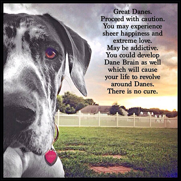 Great Danes. Proceed with caution. You may experience sheer happiness and extreme love. May be addictive. You could develop Dane Brain as well, which will cause your life to revolve around Danes. There is no cure.